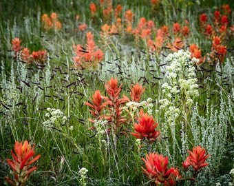 Meadow Wildflowers Red White Indian Paintbrush Field Summer Grasses Rustic Cabin Lodge Photograph