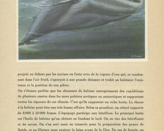Vintage Whale Print, Blue Whale, 1944/21, Wild Animals, French Text Page, Anton Trieb, Nursery Art, Sealife Print, Whale Art, Whale Nursery