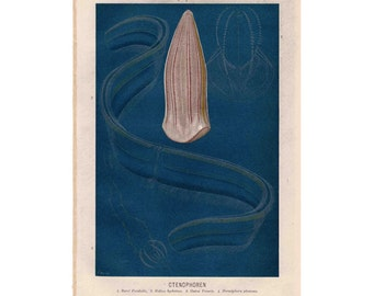 1882 CTENOPHORE sea animal creature original antique ocean print of comb jelly
