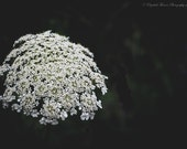 Mostly Black and White Queen Anne's Lace Macro Fine Art Photography Flower Print Garden Art