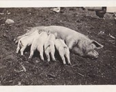 Breakfast for Piglets- 1910s Antique Photograph- Mother Pig- Farm Animal- Real Photo Postcard- AZO RPPC- Paper Ephemera