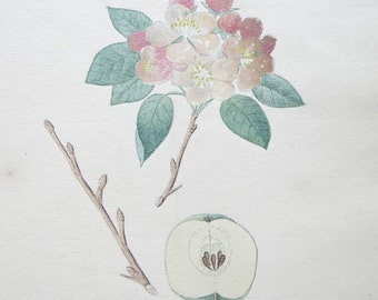 1850 Original Botanical Watercolor - Pyrus Malus #143 by K. G. A. Winkler