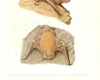 1970 Vintage bat poster Vintage bat print bat illustrations bat art bat decor bat gift Molosse bat Grand murin Picture of bat Vampire Bat