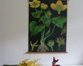Vintage German Pull Down School Chart, Poster Biology Floral Print, Flower Kingcup, Jung Koch Quentell