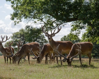 London Photography - Richmond Park - Deer Print