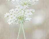 Queen Anne's Lace - Photo print, flower photography, sophisticated, love, peaceful, elegant, muted, green, beige, cream, botanical art print