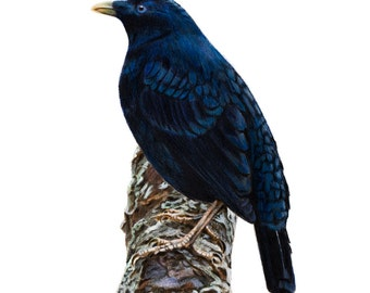 "8x10"" Male Satin Bowerbird - Australian Birds - Bird Print"