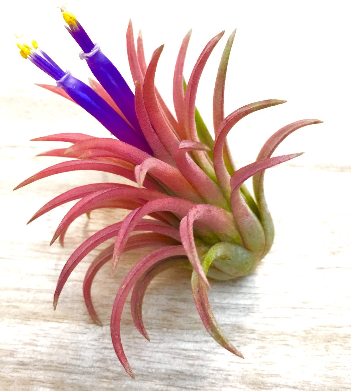 Sky farm 39 s wholesale tillandsia air plant price list for Cheap air plants