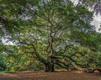 ANGEL OAK CHARLESTON south carolina tree oak massive nature