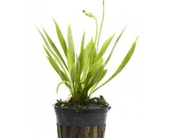 Potted Narrow Leaf Sword Aquarium Live Plant