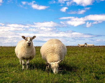 Animal Photography, farm animals, sheep, decor, Fine Art Photography - Contented Scottish Sheep
