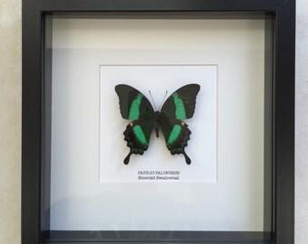 Emerald Swallowtail Butterfly Frame