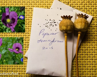 Purple Poppy (Papaver somniferum) seeds