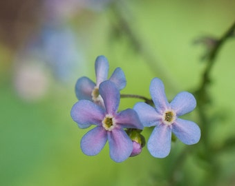 Graceful Forget-Me-Nots, TIny Blue Flowers, Sentimental Photography, Greeting Cards or Photographic Prints