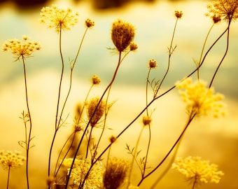 Queen Anne's Lace photo, fall flowers, harvest gold, autumn photography, mustard yellow,dried herb, oak buff, desert sage, nature photograph