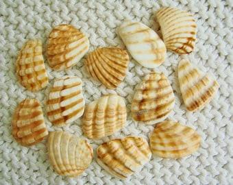 13 Pendant Size Scallop Shell Wing Fragments (SH85) Mediterranean sea shell shards, Ridged Seashells, Mosaic shells