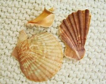 3 Large and Lovely Shell Fragments (SH86) Mediterranean sea shell shards, Ridged Seashells, Scallop shells and wings, Mosaic shells