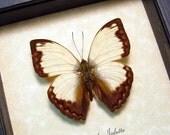 Cymothoe Jodutta Male Jodutta Glider Real Framed Butterfly 967