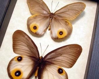 Real Taenaris Sp Silk Owl Framed Butterfly Pair 8234