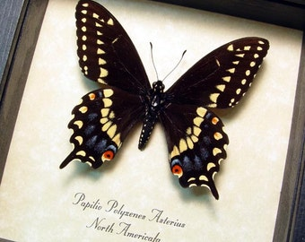 Real Papilio Polyxenes Asterius Male Yellow Tiger Stripe Swallowtail Butterfly 8314