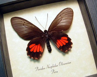 Real Framed Parides Neophilus Olivencius Butterfly Shadowbox Display 8310