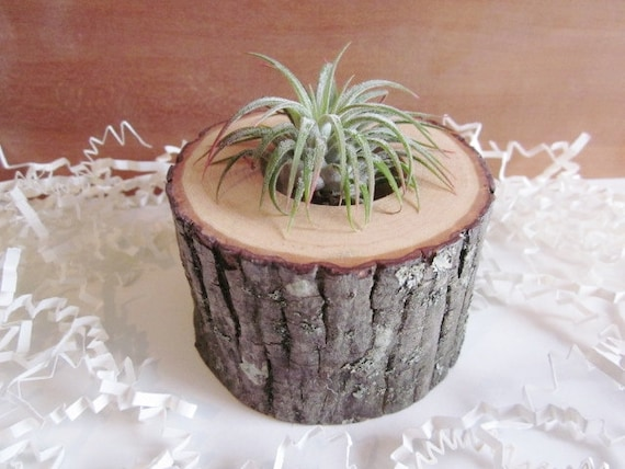 Air plant planter cubicle decor hickory wood air plant - Cubicle planters ...