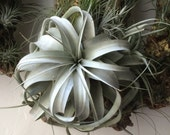 "Huge tillandsia xerographica Air Plants for sale 8"" Healthy Specimans"