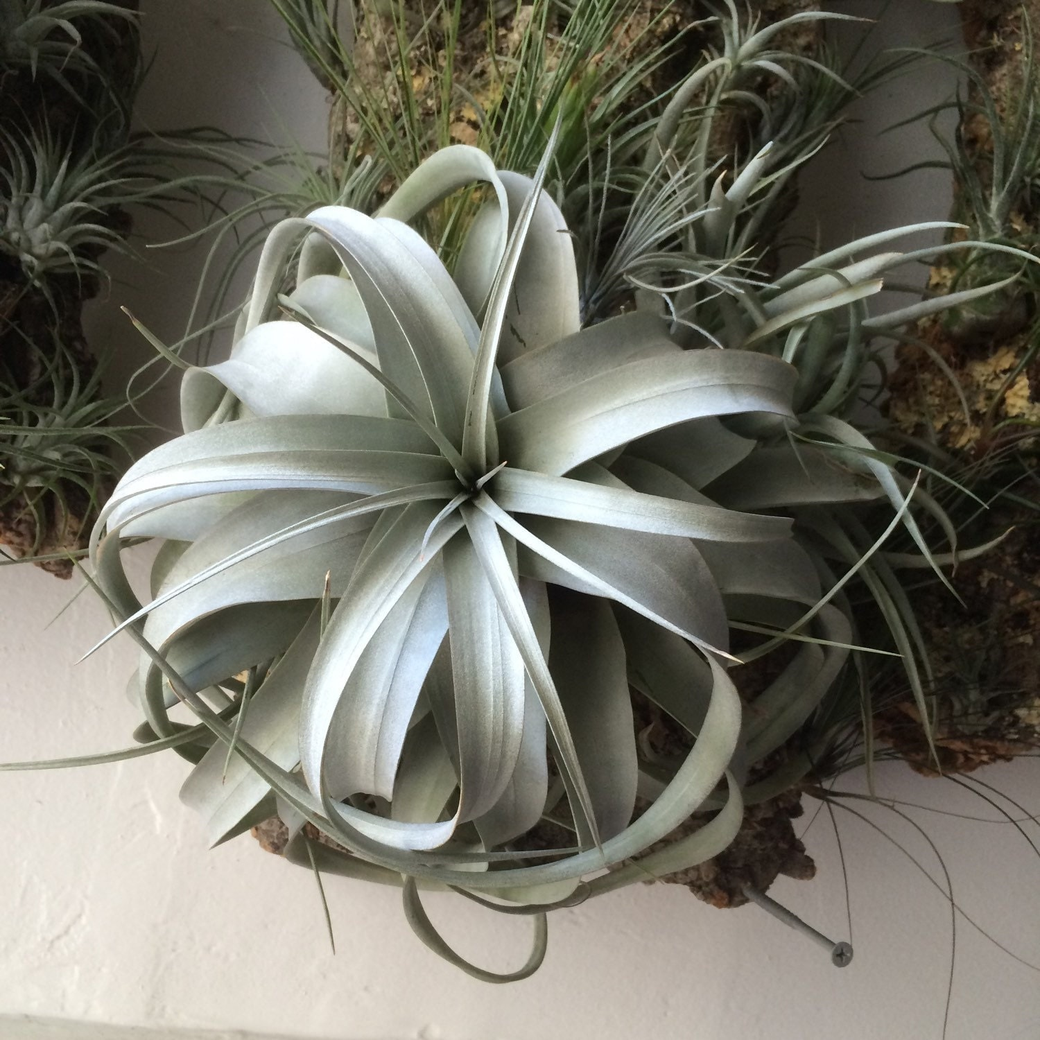 Huge Tillandsia Xerographica Air Plants For Sale 8