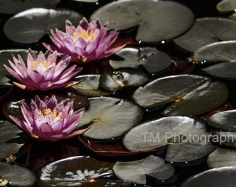 Lotus - Pond Lily - Pink Lotus - Flowers - Zen - Calming - Meditative - Nature - Fine Art Photography