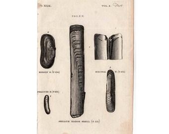 1812 ANTIQUE SHELL ENGRAVING original antique sea shore ocean print  - razor clamshell no. 2