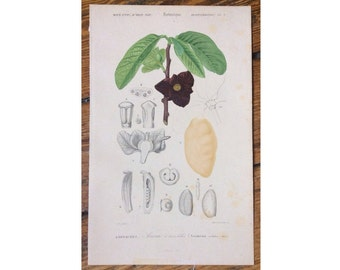 1861 ASIMINA FLOWER PRINT original antique botanical plant engraving