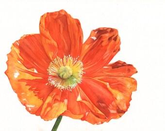 Poppy print of watercolour painting A3 print P5015 botanical art - flower print - flower painting - poppy watercolor print