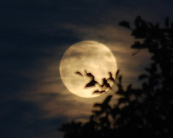 August Full Moon photo, moon & tree photograph, dark night sky picture with tree branch sillhouette, golden moon, moonrise, hazy moon, alder