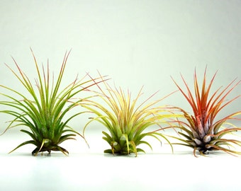 Set of 3 Air Plants - Tillandsia Ionantha Air Plants for Terrariums and Planters, Tillandsia Ionantha Guatemala, Terrarium Air Plants