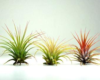 Set of 3 Air Plants - Tillandsia Ionantha Air Plants for Terrariums and Planters, Tillandsia Ionantha Guatemala, Terrarium Air Plants