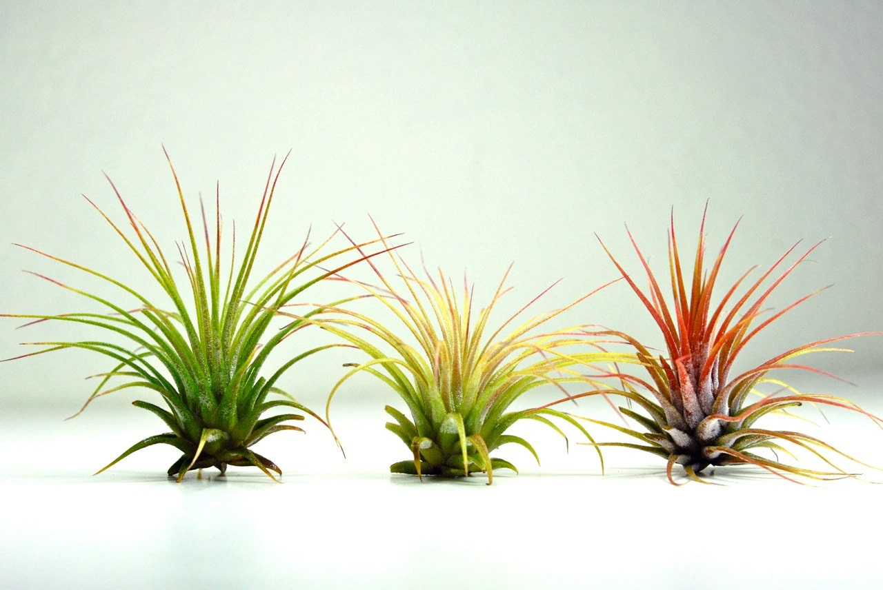 Set of 3 air plants tillandsia ionantha air plants for for Air plant planters