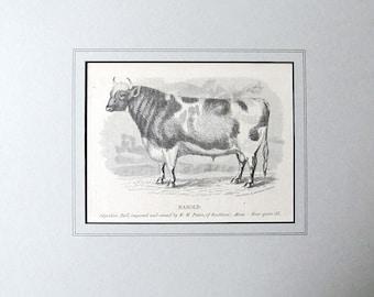 HAROLD! the BULL, Antique Wood Engraving, 1863, Southboro, Massachusetts, Ayrshire Bull