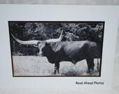 photo card, long horn bull photograph