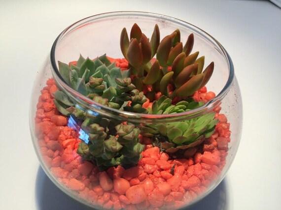 Succulent Plant Large Glass Bowl Planter 4 Succulents Soil