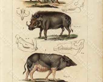 Original Antique Hand Colored Animals engraving from 1829 - Wild Boars- Pigs -  Liama -Rare Print