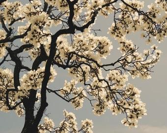 Magnolia Photograph - Spring Flower - Magnolia Tree - Tree Art - White Magnolia - Romantic Flower - Wall Decor - Nature Flower Photograph
