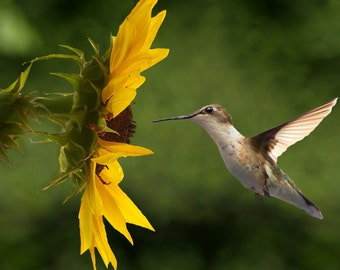 Hummingbird (Art Prints available in multiple sizes)