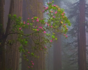 Redwood Forest (Art Prints available in multiple sizes)