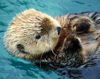 Sea Otter Up Close (Art Prints available in multiple sizes)