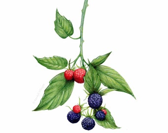 Blackberries on the Branch // Botanical Illustration // Archival Art Print, Purple, Summer, fruit, farmhouse