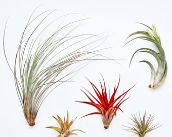 12 Air Plants Wholesale Ionantha Variety Set Of 12 Air