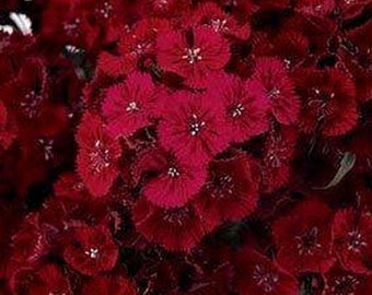 Dianthus-  Dunnetti-Red -200 seeds