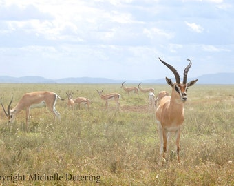 African Wildlife Photography - Impala Photo, Impala, Antelope Art, Gazelle, Nature, Digital Photography, Men Decor, Safari Art, Serengeti