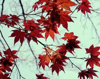 Maple tree leaves photography, red and mint wall art, tree branch print, red leaf art, nature artwork, Autumn foliage decor, botanical photo