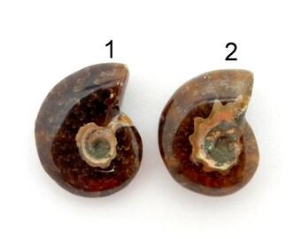 Ammonite Fossil-- Whole Polished Ammonite Fossil - You choose - (RK28B11-10)